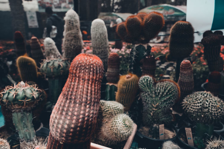 Close-up of cactus for sale