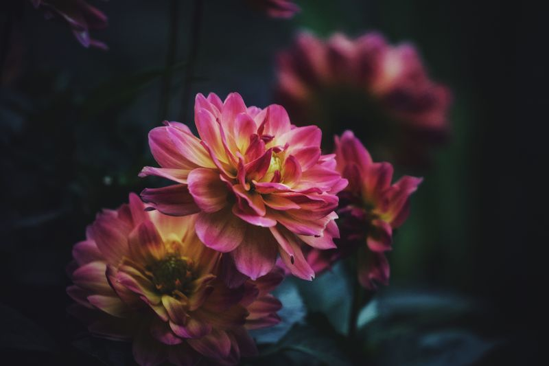 Dahlias Flowering Plant Flower Vulnerability  Fragility Plant Petal Beauty In Nature Freshness Flower Head Growth Close-up Pink Color Focus On Foreground No People Nature Pollen Selective Focus Outdoors Day