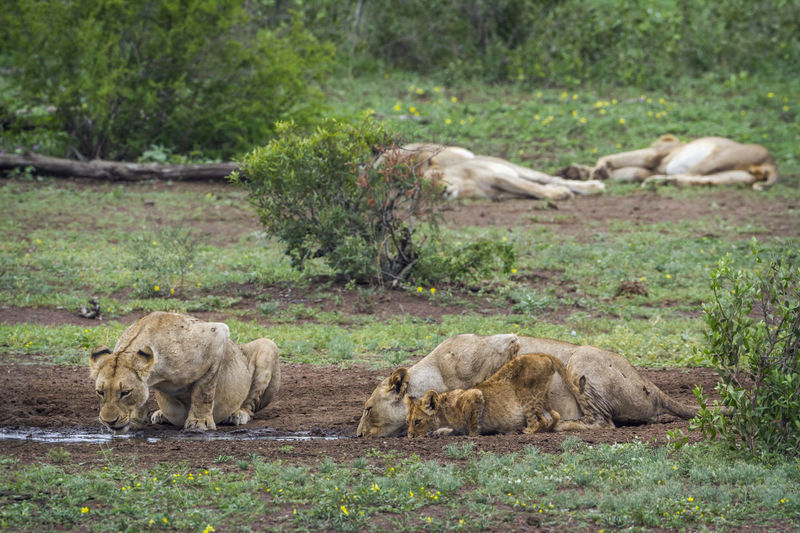 Lionesses drinking water