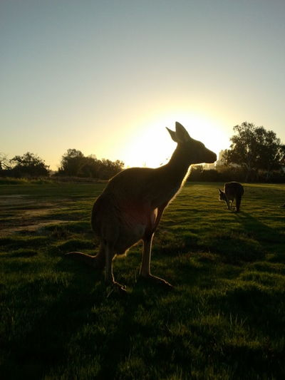 Sunset Animals In The Wild Nature Beauty In Nature Outdoors Kangeroo Australia Against The Light Side View Animal Wildlife No People