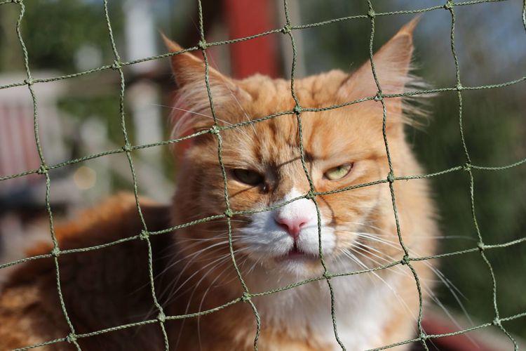 Portrait of maine coon cat seen through net