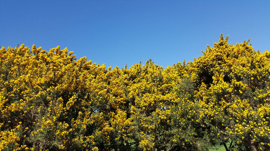Another foretaste of summer Beauty In Nature Blue Blue And Yellow Bush Clear Sky Gorse Flowers Growth Impenetrable Nature Yellow Yellow Flowers