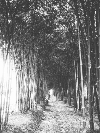 Bamboo Grove Nature Tree Outdoors Day Scenics Beauty In Nature No People