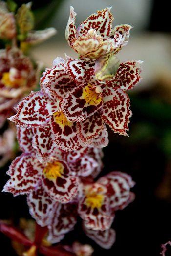 Austria Austria ❤ Blossom Exhabination Exhabition Flower Flowers Klosterneuburg Nature Orchid Orchid Blossoms Orchid Flower Orchidea Orchidee Orchideen Orchideen Austellung Orchideen Blau Outdoor