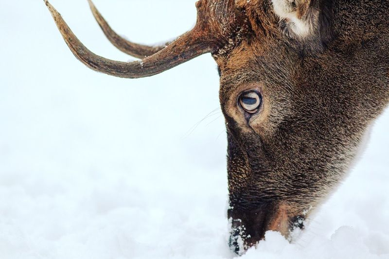 Close-up of deer foraging in snow