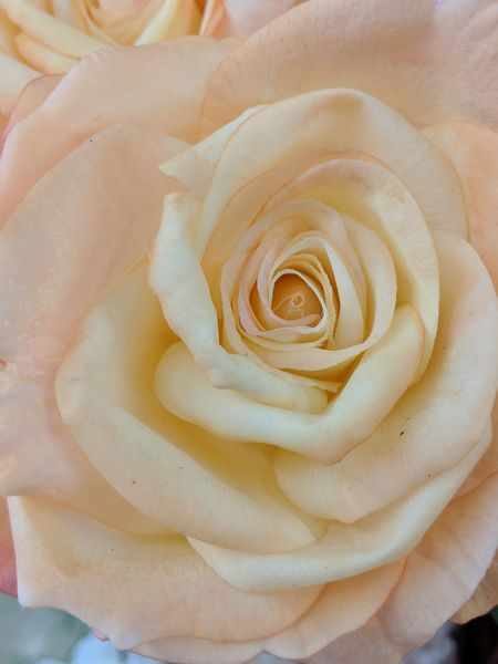 Rosé Peach Rose Rose - Flower Roses Rose🌹 Roses🌹 Rose Petals Rose♥ Pale Color Neutral Colors Love Love ♥ Beautiful Full Frame Full Frame Composition View From Above Mother Nature EyeEm Nature Lover Flower Flower Head Spiral Fossil Nature Backgrounds No People Living Organism Close-up