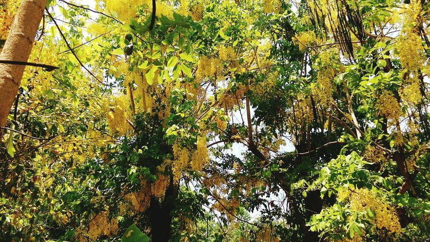 gloden shower tree EyeEm Selects Gloden Shower Yellow Flower Yellow Color Tree Full Frame Backgrounds Plant Sky Leaves Fallen Maple Leaf Water Lily Autumn Dried Dry Change Fallen Leaf Fall Maple Leaf Growing Lush Blooming Greenery Plant Life Leaf Vein Flower Head In Bloom Petal