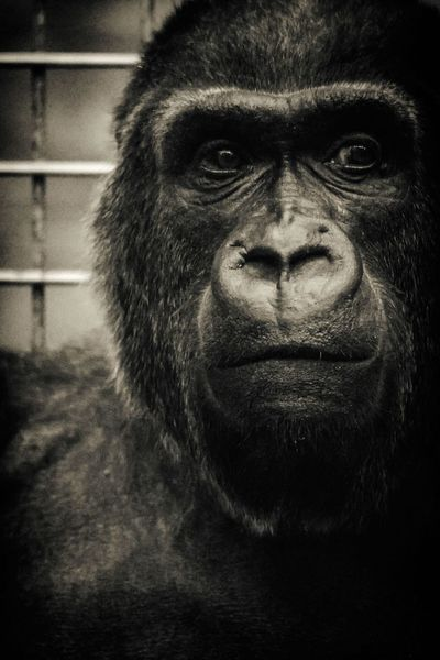 Nikon Looking At Camera Portrait Primate Gorilla Silverback Gorilla 300mm Zoo Columbus, Ohio
