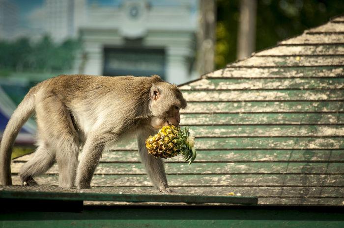 Curiosity EyeEm Thailand Lopburi Monkey Pineapple South East Asia Thailand Travel Photography Traveling Urban Scenes Wild Animals Wildlife EyeEmFiveSenses Taste Eyeemfivesenses/taste Spotted In Thailand