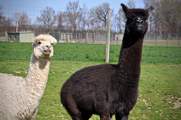 Alpaca all up and bolt if you come to close, dont come close, is she getting closer? lol Animal Themes Animal Domestic Animals Livestock Plant Grass Group Of Animals Alpaca Pets Agriculture No People Land Animal Head  Animal Wildlife Nature Herbivorous Domestic Fence Animal Lovers White And Black Field Teeth Animal Smile Fur Babies Furry Family