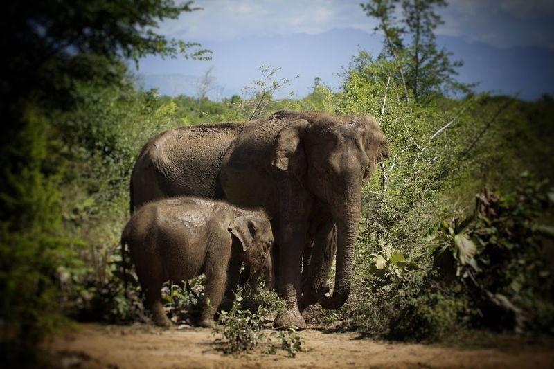 sri lanka elefant Elephant Animals In The Wild Animal Wildlife No People Outdoors Water Nature Safari Animals Animal Themes Day Sri Lanka Travel Animals In The Wild Swamp Landscape Close-up