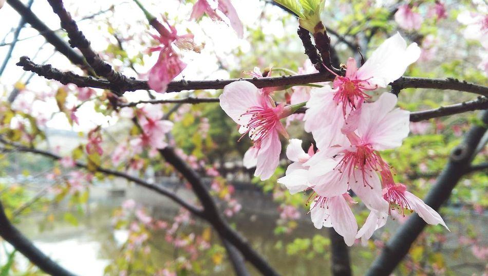 看見櫻花??盛開就會發現世界多美好??????Sakura Blooming Pinklady! Beautiful ♥ Bee 🐝 Outgoing Expect Likeachild SmallTripHow