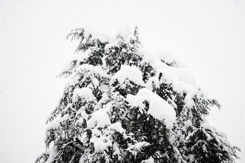 A tree covered in snow (Turin, Italy) Snow Cold Temperature Winter Tree Plant Covering Nature Beauty In Nature White Color Extreme Weather Blizzard Coniferous Tree Snowing Scenics - Nature Frozen Outdoors No People Sky Day Tranquility Torino Italy Mountain Wintertime Winter Wonderland