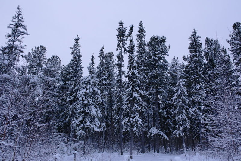 Siberian spruce forest in winter Beauty In Nature Cold Temperature Forest Plant Scenics - Nature Snow Tranquil Scene Tranquility Tree Winter