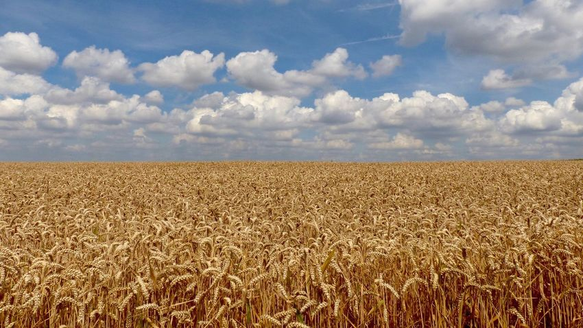 Field Sky Agriculture Nature Cloud - Sky Tranquility Day Crop  No People Growth Landscape Beauty In Nature Cereal Plant Outdoors Rural Scene Tranquil Scene Scenics 16:9 Perspectives On Nature