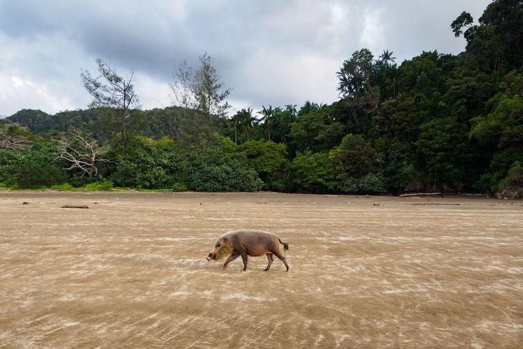 Wild boar on landscape against sky