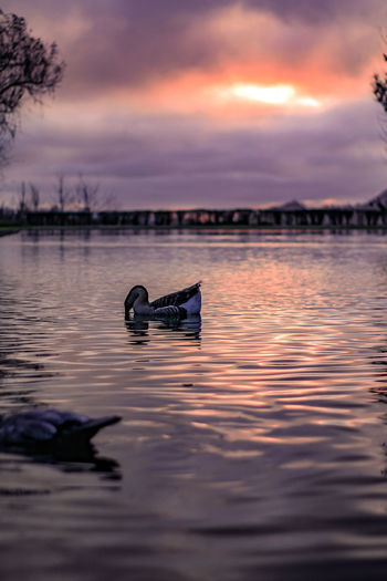 Duck in lake against sky during sunset