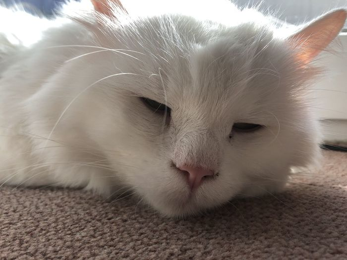 Domestic Pets Animal Mammal Animal Themes One Animal Cat Domestic Animals Domestic Cat Feline Vertebrate White Color Close-up Whisker Relaxation No People Animal Body Part Indoors  Resting Home Interior Animal Head