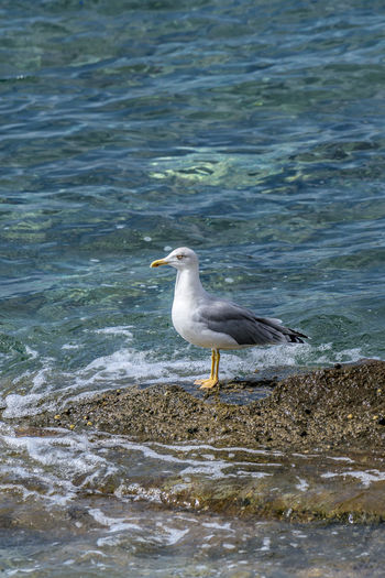Seagull standing on the rocks of the shoreline patiently waiting Alone Freedom Animal Themes Animal Wildlife Animals In The Wild Aqua Bird Blue Day Environment Fauna Nature No People Ocean One Animal Outdoor Outdoor Photography Outdoors Portrait, Real Life Sea Seabird Seagull Seaside Water