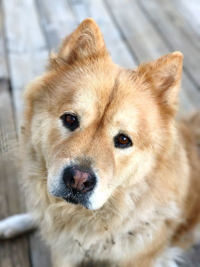🐶Toby🐶 Animal Themes Pets Looking At Camera Mammal Domestic Animals One Animal Dog Portrait Close-up No People Day Pomeranian Outdoors Nature Handsome Boy Black Tounge Chow Chow Fur Baby Fuzzy Big Baby Fresh On Eyeem