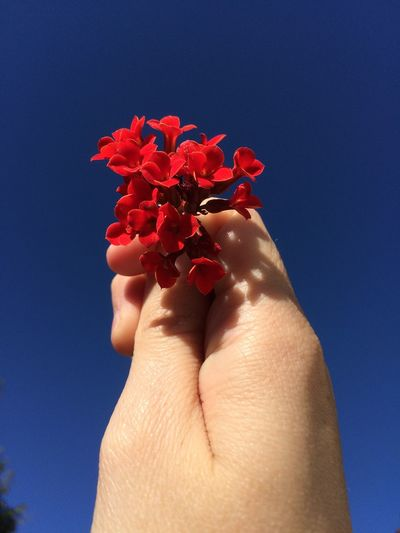 Cropped Hand Holding Flowers Against Clear Blue Sky