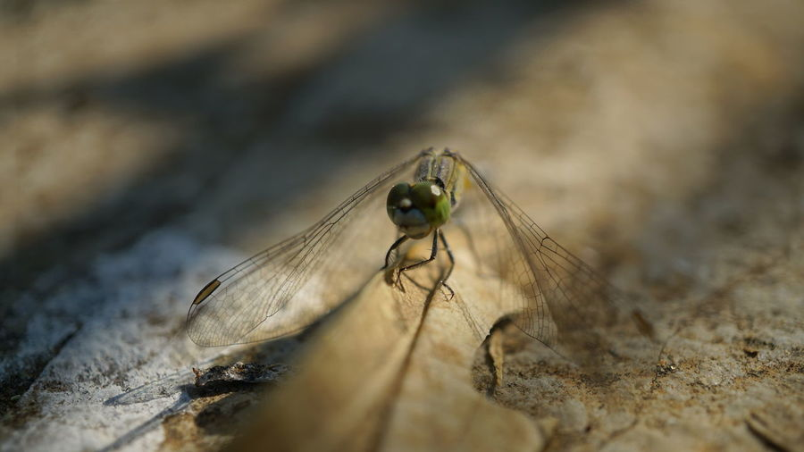 Close-up Shot of Dragonfly EyeEm Selects Animal Wildlife Animals In The Wild Insect No People Animal Themes Day One Animal Close-up Nature Outdoors Dragonfly Close-up Shot Close‐up Photography Sony A6000 Sony Alpha 6000 Nwin Photography My View Sony Photography Alpha6000 Dragonfly Photograohy Dragonfly Eyeem Collection Dragonfly Series Macro Nature Collection Insect Photography