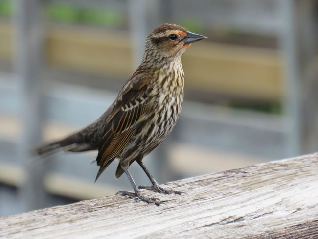 Bird on a railing female red winged black bird close up focus on the foreground birdwatching EyeEm nature lover One Animal Perching Wood - Material No People