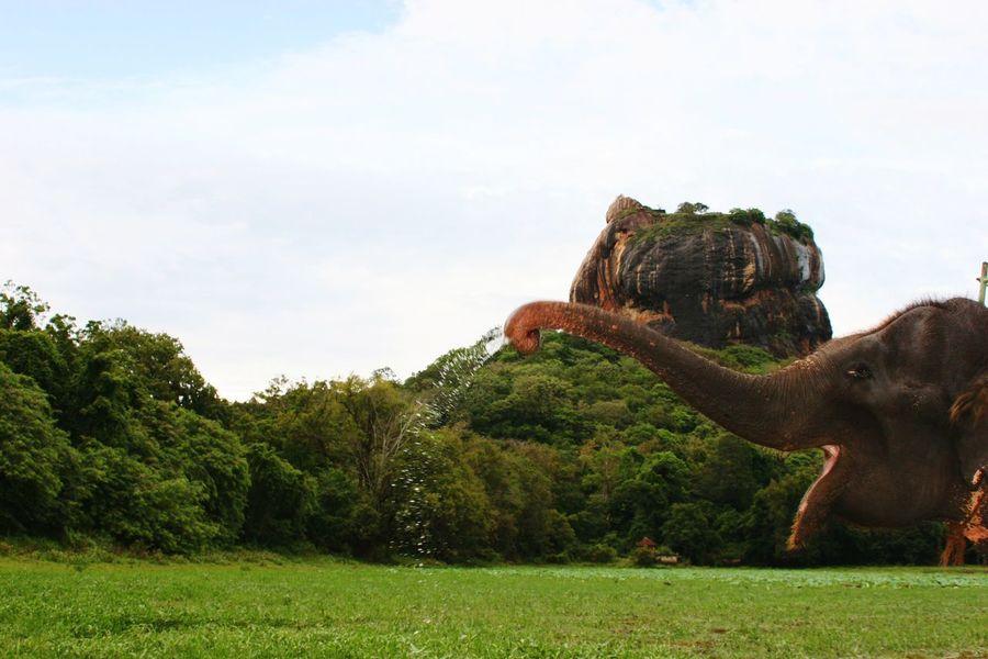 Sri Lanka Lion Rock Elephant