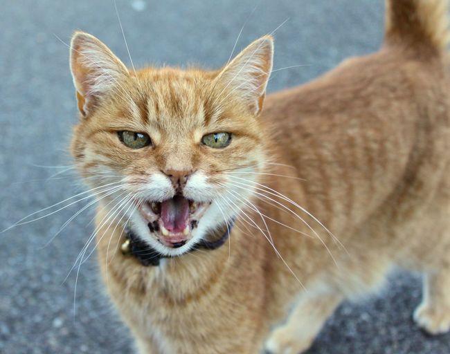 Close-up portrait of ginger cat