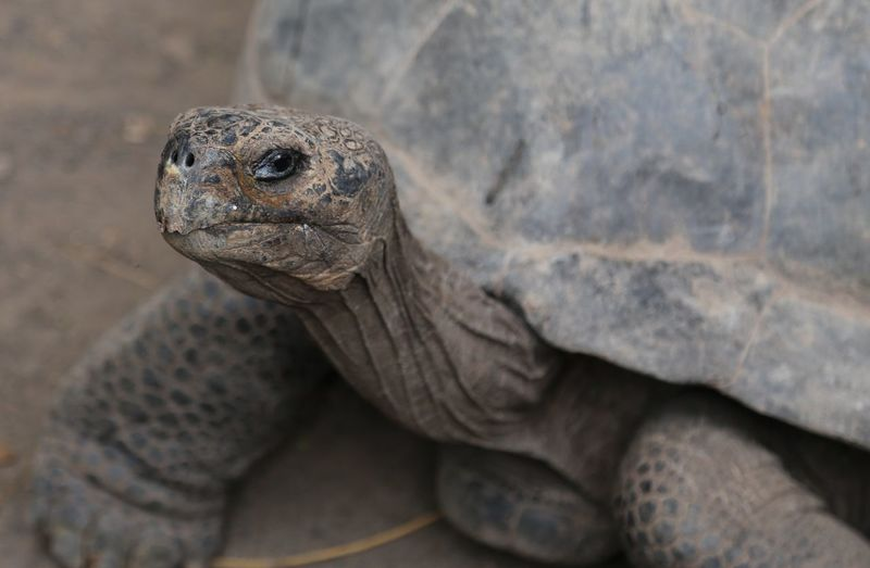 Close-up of galapagos giant tortoise