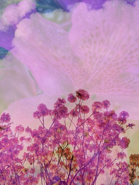 Playing around with Double Exposure Beauty In Nature Blooming Blossom Branch Close-up Day Flower Flower Head Fragility Freshness Growth Nature No People Outdoors Petal Pink Color Plant Purple Sky Springtime Tree