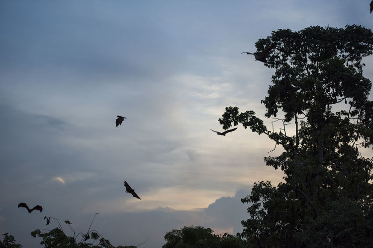Foxbats in Thailand ASIA Bat Thailand Animal Themes Animal Wildlife Animals In The Wild Dusk Evening Flying Forest Fox Fox Bat Foxbat Fruit Low Angle View Nature Outdoors Silhouette Sky Spread Wings