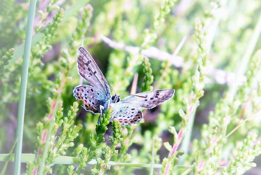 Butterfly Plebejus Argus Hay
