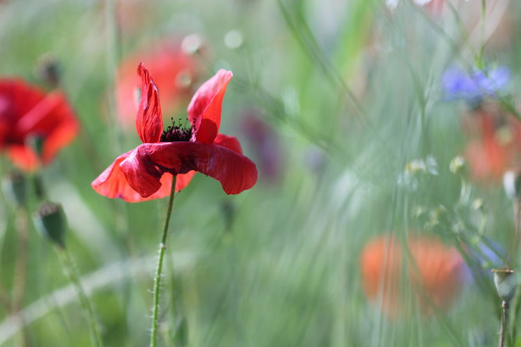 Light Beauty In Nature Bokeh Close-up Day Flower Flower Head Flowering Plant Focus On Foreground Fragility Freshness Growth Inflorescence Nature No People Outdoors Petal Plant Plant Stem Poppy Poppy Flower Red Selective Focus Vulnerability  Wild