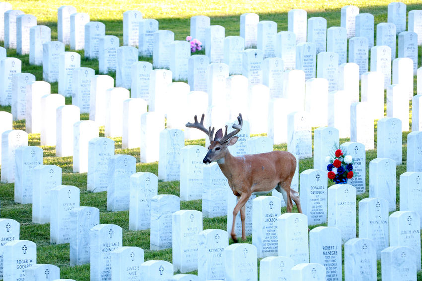 Cemetery Cemeterybeauty Deer Animal Wildlife Animals In The Wild Antlers Buck Cemeteryscape Headstones In A Row Herbivorous In A Row Mammal No People One Animal