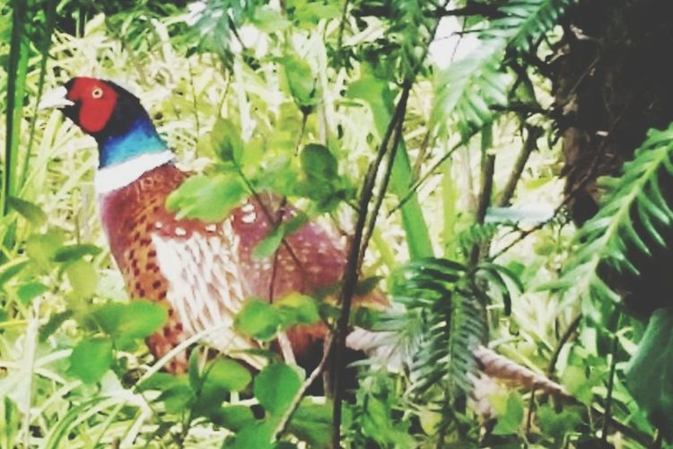 Bird Leaf Animals In The Wild Outdoors Pheasant Animal Themes One Animal Beauty In Nature Close-up Nature