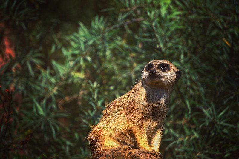 Meerkat sitting against plants