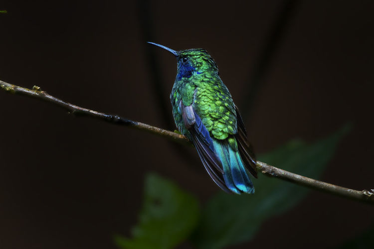 Green Violet-ear Monteverde Cloud Forest Reserve Vertebrate Animal Wildlife Bird Animal One Animal Animal Themes Animals In The Wild Hummingbird Perching No People Branch Twig Close-up Focus On Foreground Nature Plant Beauty In Nature Kingfisher Blue Green Color