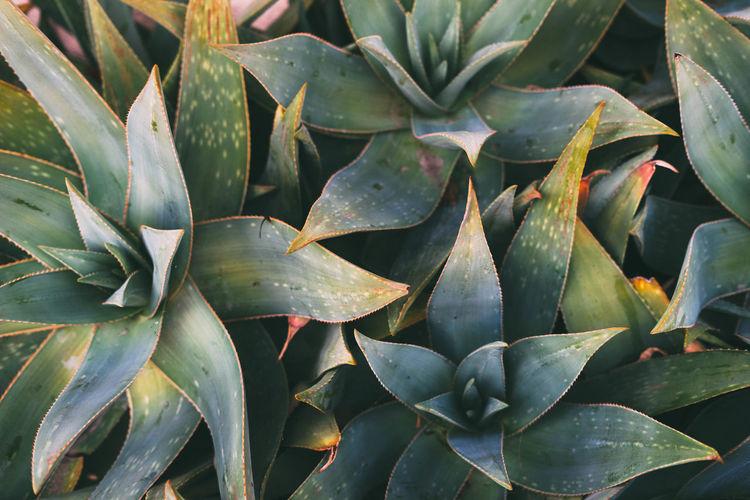 Full frame shot of prickly pear cactus