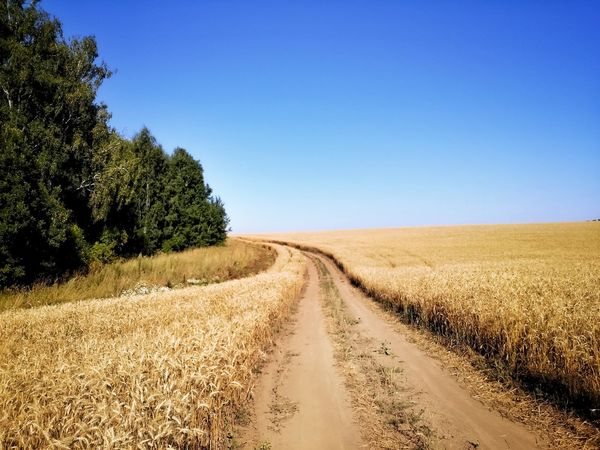 There's the afternoon in my village. Agriculture The Way Forward Landscape Rural Scene Field Nature Outdoors Sky Road Scenics Day Blue Beauty In Nature Clear Sky No People Tire Track Tree Rye Field Diploidrec ImissYouu♥ BeardMan ♡♡ EyeEm Best Shots EyeEm Nature Lover Natureofrussia