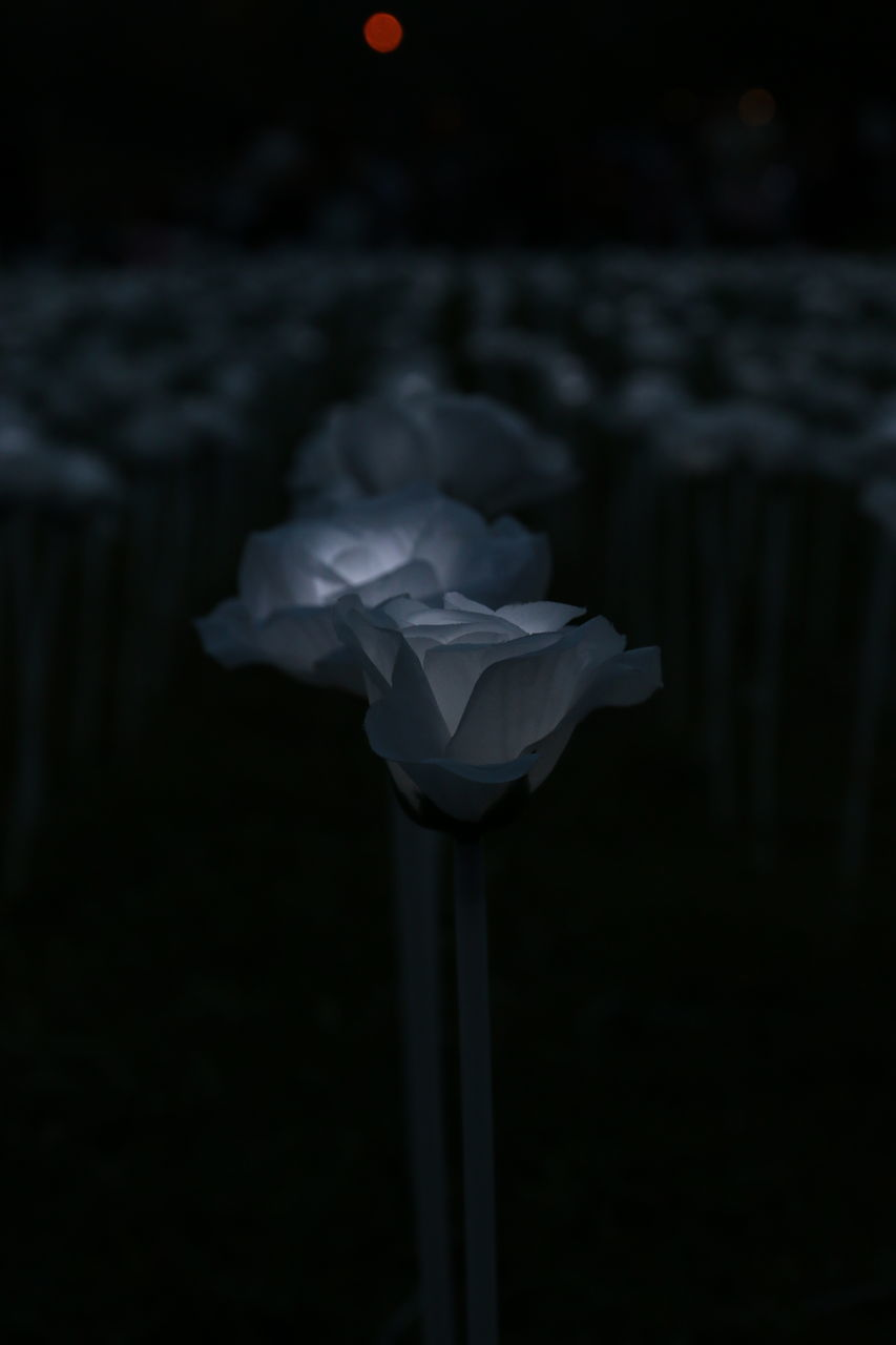 flower, petal, nature, beauty in nature, no people, fragility, freshness, close-up, night, flower head, black background, outdoors