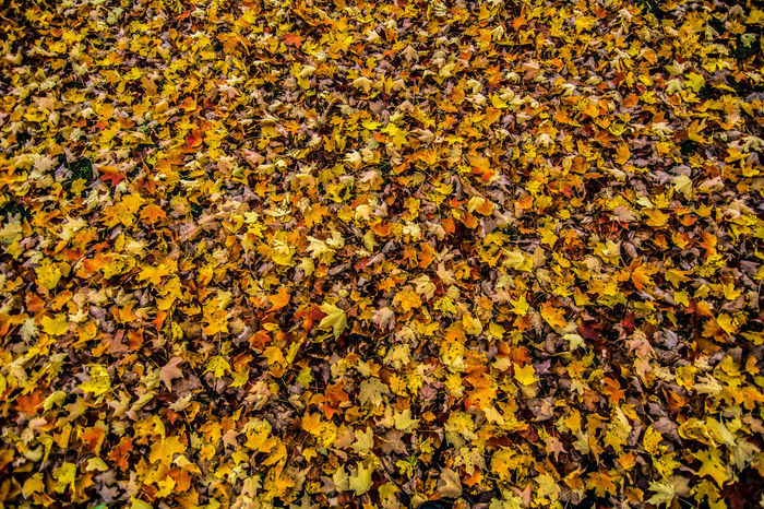 Abundant Backdrop Fall Cleanup Fall Color Fall In New England Leaves Leaves Covering The Ground Many Rake