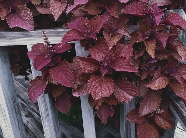Outdoors Day No People Growth Flower Close-up Fragility Nature Beauty In Nature Freshness Flower Head Coleus Coleus Leaf Wood Nature And Man Nature And Manmade Burgundy Red