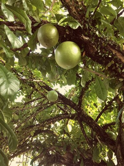 Beauty In Nature Calabash Calabash Craft Calabash Tree Calabashcreamery Green Color Growth Outdoors