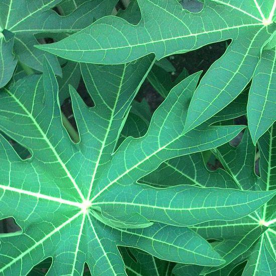 Leaf 🍂 Papaya Papaw PawPaw Green Home Garden