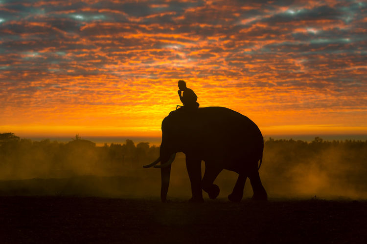Silhouettes of people and elephants are the way of life of the surin thai people.