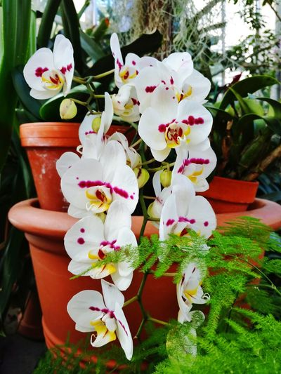 Strands of Orchids! BEAUTIFUL ORCHIDS Beauty In Nature Freshness Petalsandbuds Greenery Green House Fragility Terracotta PlantersEyeEm Love Flowers 💐 Cell Phone Photography EyeEm Gallery