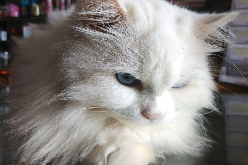 Domestic Cat Pets Animal One Animal Domestic Animals Eye Feline Mammal Animal Hair Nose Portrait Close-up Animal Themes No People Indoors  Day EyeEmNewHere Eye For Photography Catslover Cat Photography Cateyes Catpic Blueeyes! Whitecat Kittens Whitecat