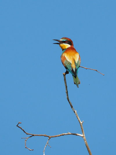 Beauty In Nature Beauty Of Nature Bee Eater Bee Eater On A Tree Bee Eaters Bird Bird Photography Birds Birds In Flight Colorful Bird Colorful Birds Eater Eaters Gyurgyalag Gyurgyalagok Merops Apiaster Méhészmadár Photography Of Nature