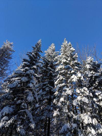 Spruce Snow In